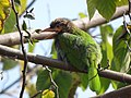 Brown-headed Barbet - Megalaima zeylanica - DSC04468.jpg