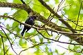 Brown-headed cowbird (18059951266).jpg