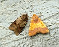 Brown-spot Pinion and Barred Sallow (8005482760).jpg