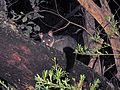 Brush-tail Possum - Flickr - GregTheBusker.jpg