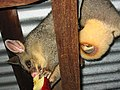 Brushtail with pouch.jpg
