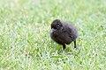 Buff-banded Rail chick (Gallirallus philippensis) (27106119119).jpg