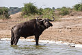 Buffalo - Queen Elizabeth National Park, Uganda.jpg