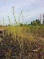Buglossoides incrassata subsp. splitgerberi sl2.jpg