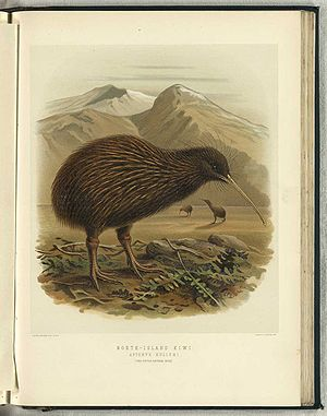 colon English: North Island Brown Kiwi (Aptery...