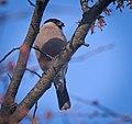 Bullfinch (49665342362).jpg