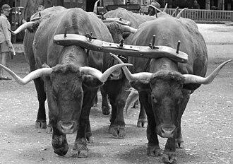 Yoke - Bow yokes on a bullock team