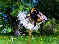 Bumblebee and dandelion.jpg