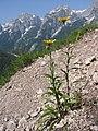 Buphthalmum salicifolium01.jpg