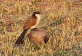 Burchell's Coucal, Centropus burchelli at Borakalalo National Park, South Africa (9868754505).jpg