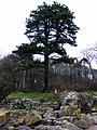 Burned tree at Ardgowan - geograph.org.uk - 2360946.jpg