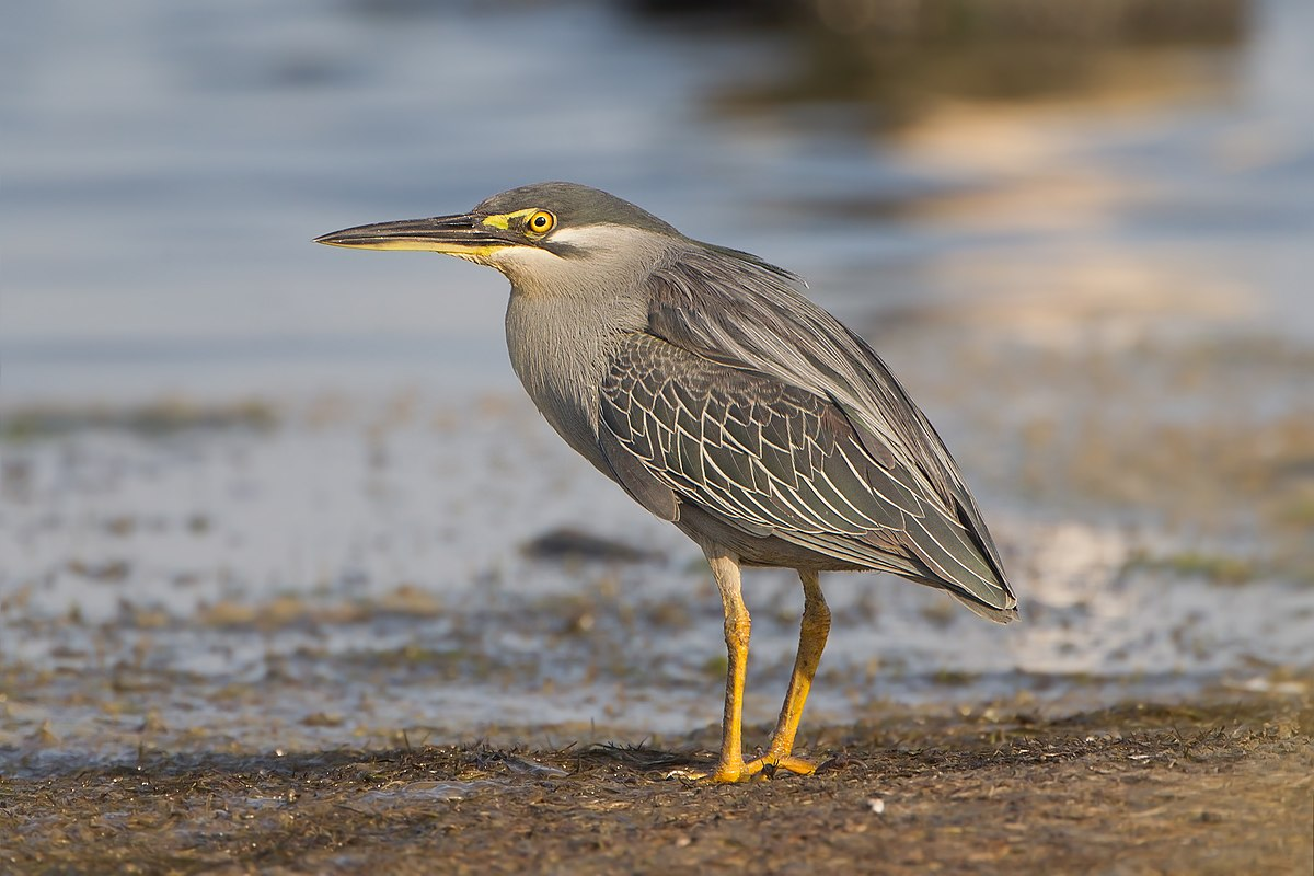 Striated heron - Wikipedia