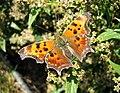 Butterfly - panoramio - Mario Hains.jpg