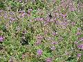 Butterfly P9080647.jpg