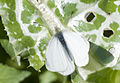 Butterfly Small White 01.jpg
