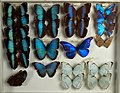 Butterfly collection at Transcona Museum.jpg