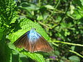 Butterfly near Sabalito Costa Rica9.jpg