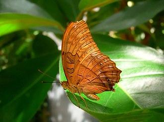 Heliconiinae - Cruiser butterfly Vindula arsinoe of the Vagrantini