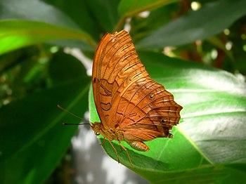 English: Butterfly, Vindula arsinoe. Français ...