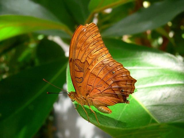 Bộ sưu tập cánh vẩy 5 - Page 6 640px-Butterfly_vindula_arsinoe