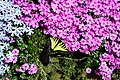 Butterflycreepingflox - West Virginia - ForestWander.jpg