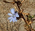 C. intybus flor-3.JPG