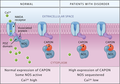 CAPON Binds Nitric Oxide Synthase, Regulating NMDA Receptor–Mediated Glutamate Neurotransmission.png