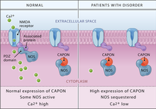 Capon Binds Nitric Oxide Synthase Regulating Nmda Receptor Mediated Glutamate Neurotransmission