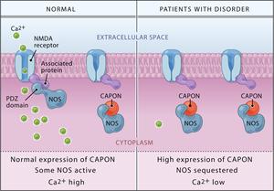 Neurotransmitter - CAPON Binds Nitric Oxide Synthase, Regulating NMDA Receptor–Mediated Glutamate Neurotransmission