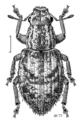 COLE Curculionidae Atrichonotus sordidus.png