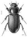 COLE Scarabaeidae Acrossidius tasmaniae.png