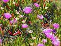 CSIRO ScienceImage 11253 Wildflowers on Rottnest Island Western Australia.jpg