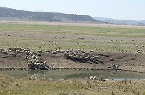 Currawang - Image: CSIRO Science Image 3900 Sheep near dam