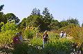 Cabrillo College, Salvia garden-01 ArM.jpg