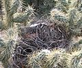 Cactus Wren nest in Teddy-bear Cholla.jpg
