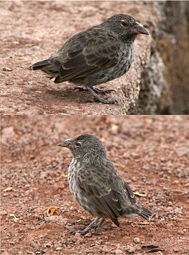 Cactus ground finch Santa Cruz.jpg