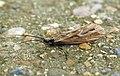 Caddis fly (7302808562).jpg