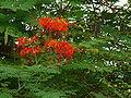 Caesalpinia pulcherrima 0008.jpg