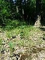 Calamagrostis arundinacea sl8.jpg