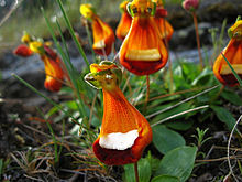 Calceolaria uniflora - Flickr 003.jpg