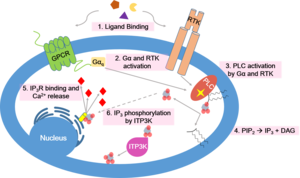 Inositol-trisphosphate 3-kinase - The calcium signaling pathway is involved in a variety of cellular processes including muscle contraction, gamete fertilization, and neurotransmitter release. Since the calcium second messenger has such widespread cellular functionality, it must be tightly regulated. ITP3K, shown in step 6 in the schematic, plays a role in calcium homeostasis by means of signal termination.