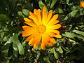 Calendula in Autumn.jpg