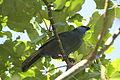 Callaeas wilsoni, Tiritiri Matangi Island 1.jpg
