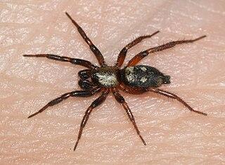 <i>Callilepis</i> genus of arachnids