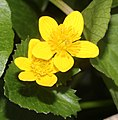 Caltha palustris var. nipponica (flower s3).jpg
