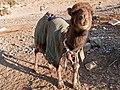 Camel Calf (5300267347).jpg