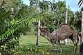 Camel in Zoo.jpg