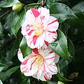 Camellia Blossom 2 - geograph.org.uk - 347685.jpg