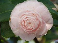 Camellia japonica rose.jpg