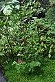 Camellia vietnamensis.jpg